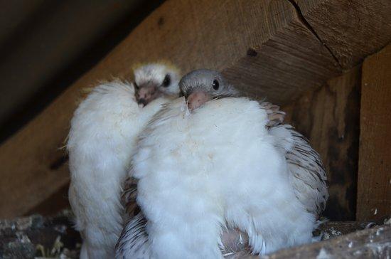 Lacroix-Barrez, Франция: Pigeonneaux