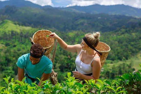 Visite de l'usine de thé d'Uva...
