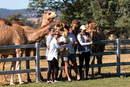 Camel Farm Experience - Tour & Taste