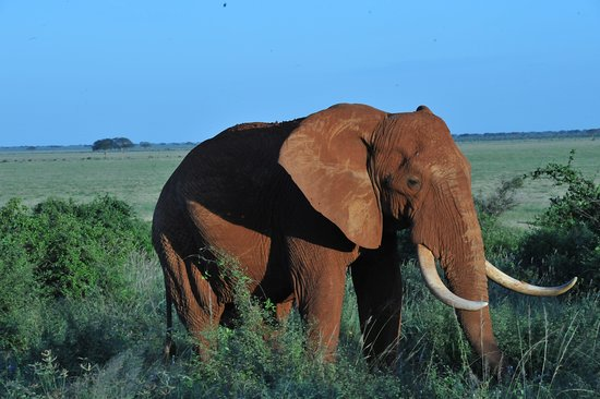 Big Elephant bull in Tsavo East