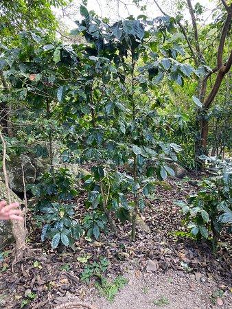 Coffee plant.