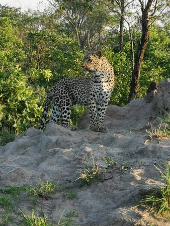 Djuma Game Reserve, แอฟริกาใต้: Leopard of Djuma