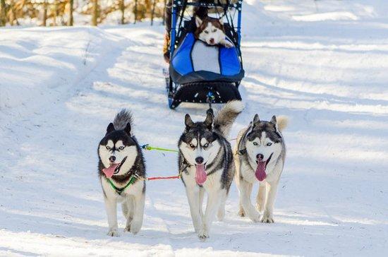 Kanada: hasky perros siberianos en canada
