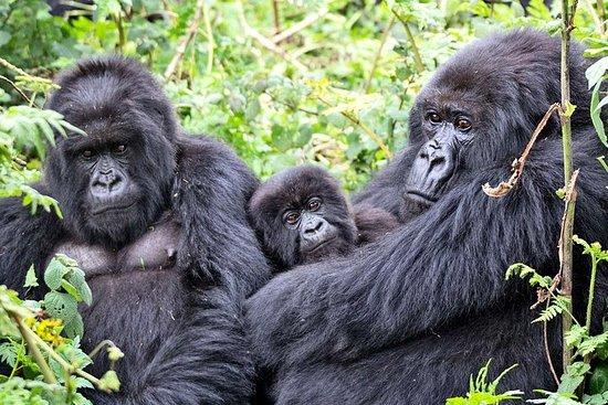 Foto de 3 días de experiencia en el gorila del parque forestal impenetrable de Bwindi