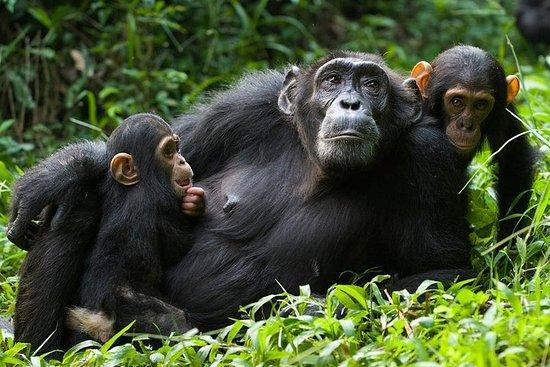 Suivi des chimpanzés et cascade...