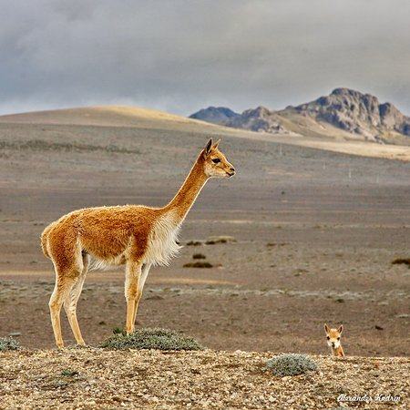 Chimborazo Province, Ισημερινός: The vicuña or vicugna is one of the two wild South American camelids which live in the high alpine areas of the Andes. It's a relative of the llama. Vicuñas produce small amounts of fine wool, which is very expensive. I shoot this couple on the slopes of the volcano Chimborazo somewhere on the height of 4000 meters. The tip of the volcano is always covered with snow and ice. Its height is 6267 meters.