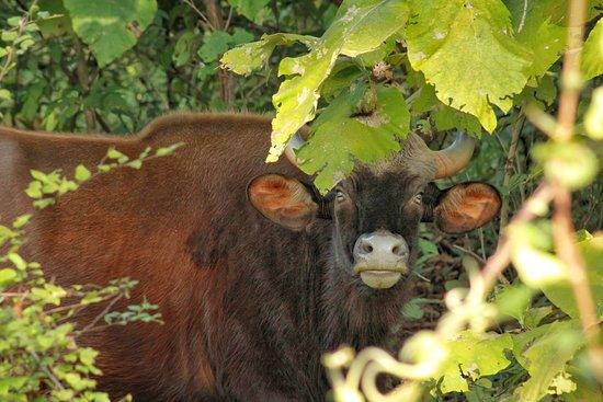 Gaur - also known as Indian Bison