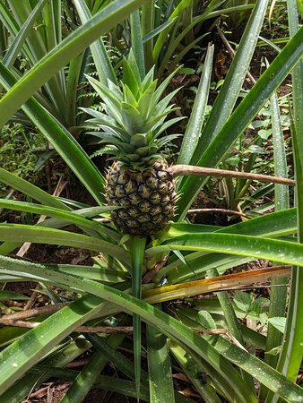 Don Olivo Chocolate Tour from La Fortuna: one of many pineapple plants