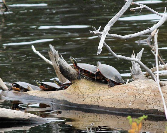 Seney, MI: Turtles we saw while on the Marshland Wildlife Drive