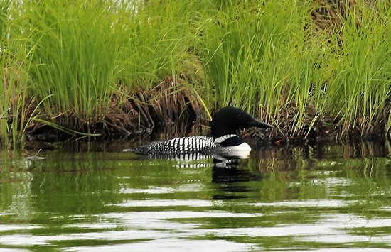 Seney, MI: One of the loons we saw while on the Marshland Wildlife Drive