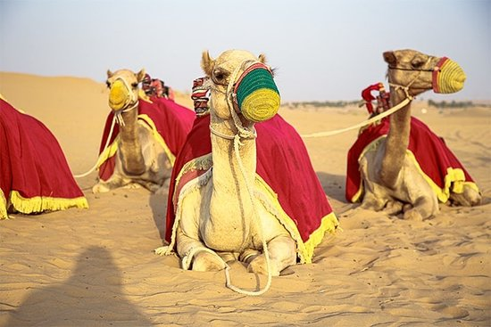 Unforgettable Experience of Red Dunes Desert Safari Tour: bunch of camels