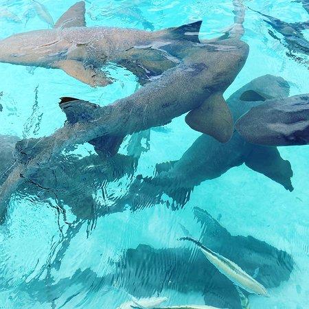 Famous Swimming Pigs Tour Bahamas - Full Day Powerboat to Exuma from Nassau: Nurse sharks