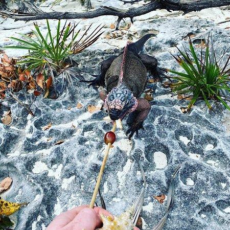 Famous Swimming Pigs Tour Bahamas - Full Day Powerboat to Exuma from Nassau: Iguana