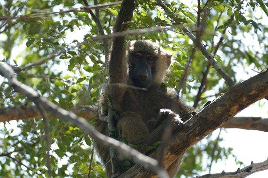 Pendjari National Park, เบนิน: Babouin