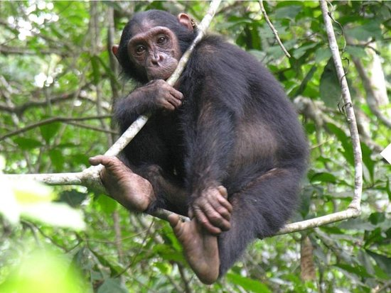 Национальный парк Катави, Танзания: Chimp at the Katavi national park.