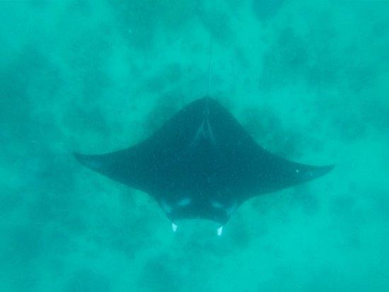 Marovo, Solomon islands/Isole Salomone: swim with manta rays