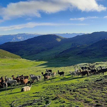 Cotabambas, Перу: Lamas in Colca Apurimac Peru.