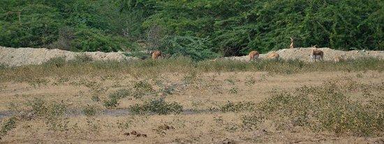 Bishnoi Blakbuck safari..