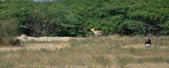 Bishnoi Blackbuck safari..