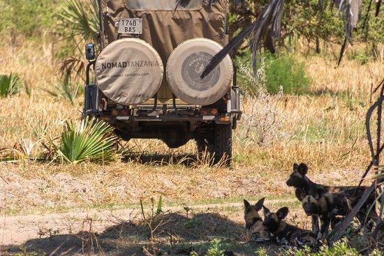 Национальный парк Катави, Танзания: wild dogs