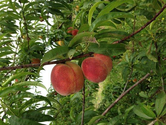 Loxley, AL: Peaches from the Burris family farm