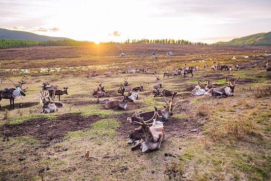 Le dernier peuple de rennes du nord...