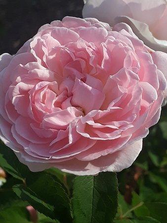 Buxton, Австралия: Beautiful roses around Rose Cottage