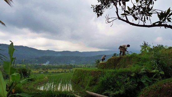 Bali, Indonésie: Working in  the ricefields