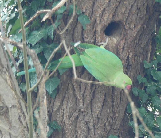 Bedfont Lakes Country Park: Parakeet in the wild!