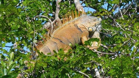 Iguana along the banks of the New River. Photo taken during our Lamanai Maya Ruin Adventure. #josetoursbelize #privatetours #belize