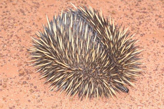 Wubin, Úc: echidna