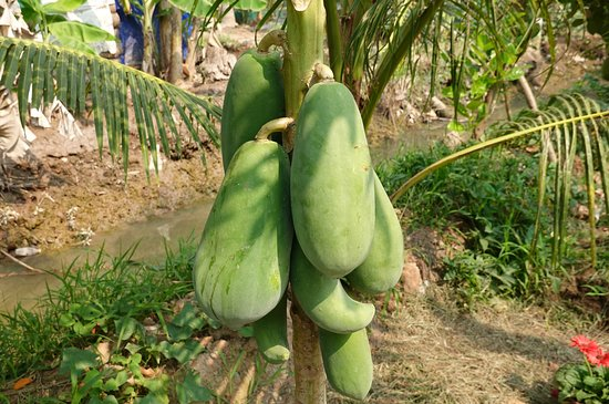 While northern Vietnam is winter in December, papaya ripens in the tropical south of the Mekong Delta