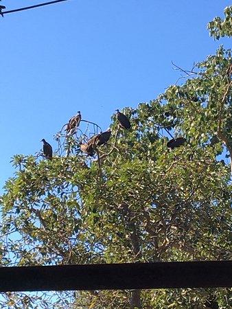 Marakissa, Gambia: Vultures at Abuko National Park