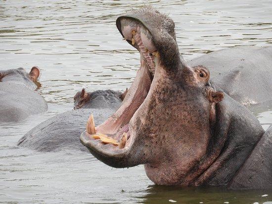 Nijlpaard Nijl Murchison