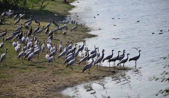 Migratory birds at Guda Bishnoi Lake