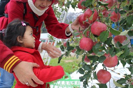 [Nagano / Iiyama / Apple picking] Autour du fruit rouge vif...