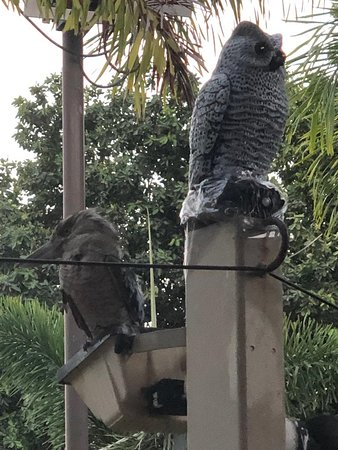 A kookaburra next to a faux owl! A staff member told me that the owls are supposed to scare them away, but it doesn't seem to be working, which was good for me because I hadn't ever seen one before!