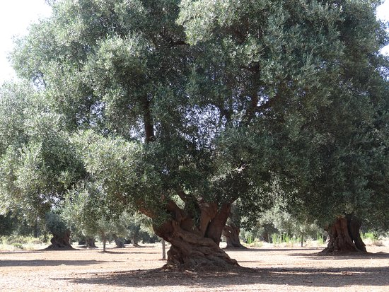 Some of the ancient olive trees to be found in Puglia - this one is said to be well over a thousand years old. One of our favourite spots to view them is at Serranova (Brindisi) just after crossing the railway line on the way to Torre Guaceto.