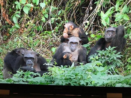 Edea, Cameroon: ici une communauté de chimpanzé de l'ile de pongo songo. il faut arrivé à temps pour assister au moment où ils sont nourris. le guide saura vous renseigner sur les conditions de visites. croyez le c'était une belle expérience