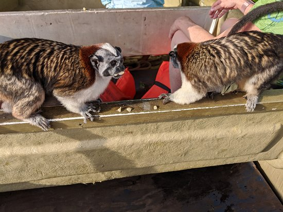Monkey Island: White faced capuchin monkeys on our small boat; threy were hungry!