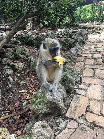 Barbados Monkey Feeding Experience: Monkey eating mango