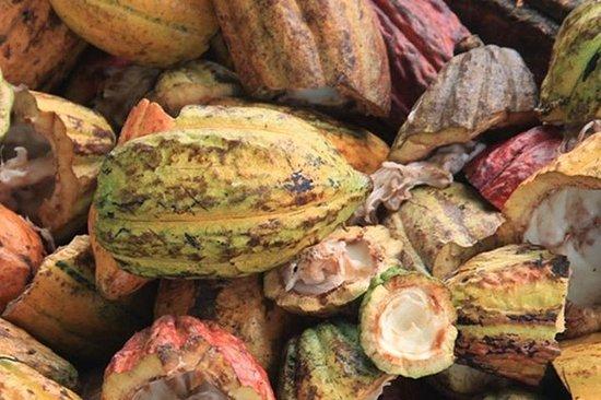 Cacao Road Excursion: piantagioni, processi, degustazioni e scenari
