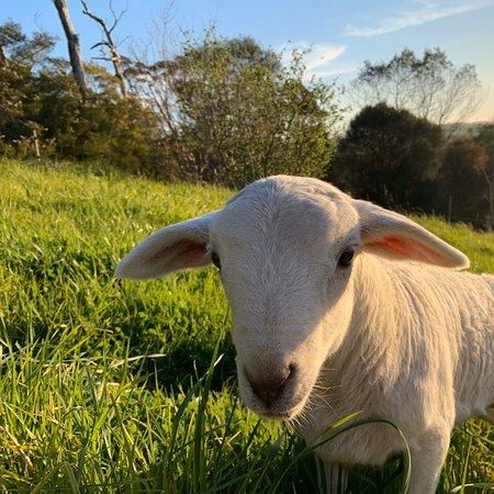 Woolamai, Австралия: Australian White Sheep