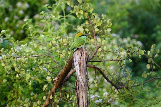 udawalawe National park private safari With Subhash: Green bee eater