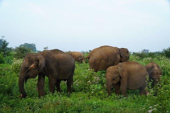 udawalawe National park private safari With Subhash: Elephants during the safari