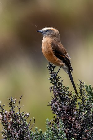 Brown-backed Chat Tyrant