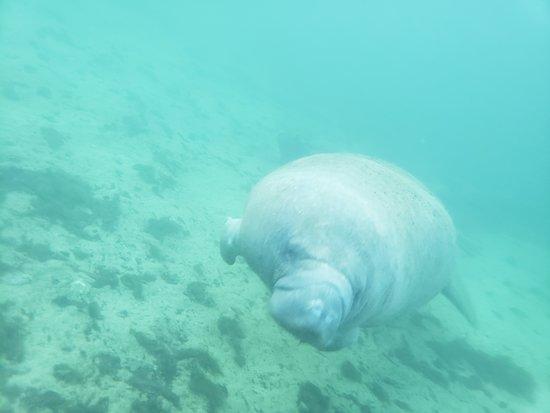 Small Group Swim with Manatee Adventure: My manatee friend