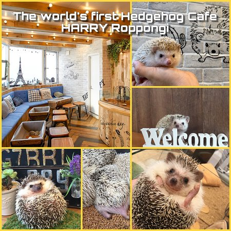 ‪Hedgehog Cafe HARRY Roppongi &Hamster Cafe mogumogu‬