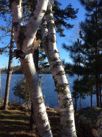 Iconic paper birch trees at River Point Resort & Outfitting Co