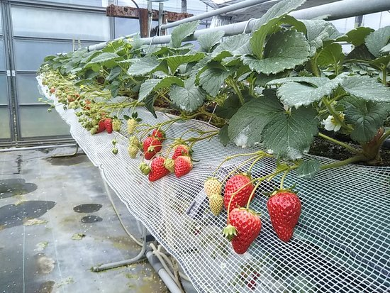Shirahama Strawberry Picking Center